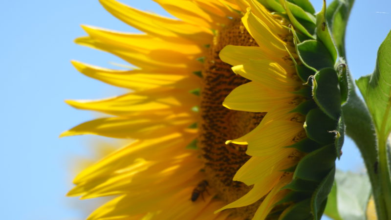 Bright yellow sunflower, Tuscany, Italy - Virginie Suys Photo Canvas HD