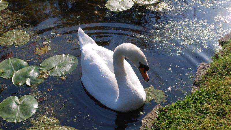 Swan lake, Ardennes, Belgium - Virginie Suys Photo Canvas HD