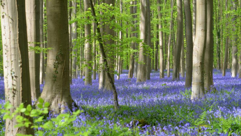 Bluebells in bloom 2, Hallerbos, Belgium - Virginie Suys Photo Canvas HD