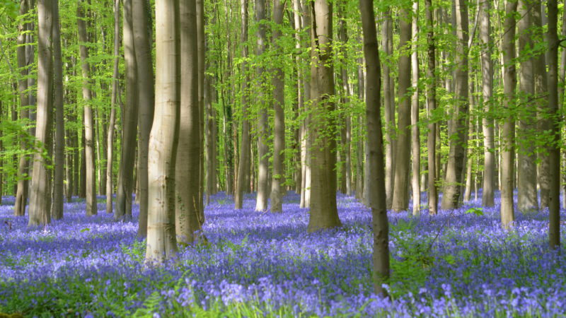 Bluebells in bloom 1, Hallerbos, Belgium - Virginie Suys Photo Canvas HD