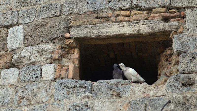 Kissing doves, Tuscany, Italy -Virginie Suys Photo Canvas HD