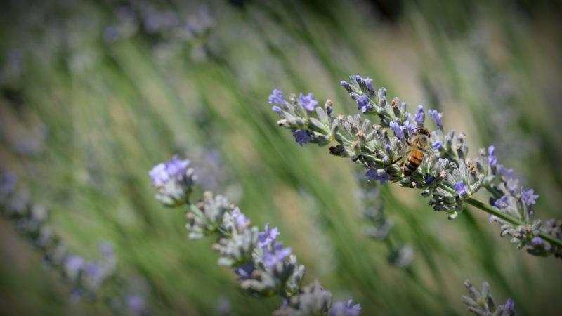 Lavander wasp, Tuscany, Italy -Virginie Suys Photo Canvas
