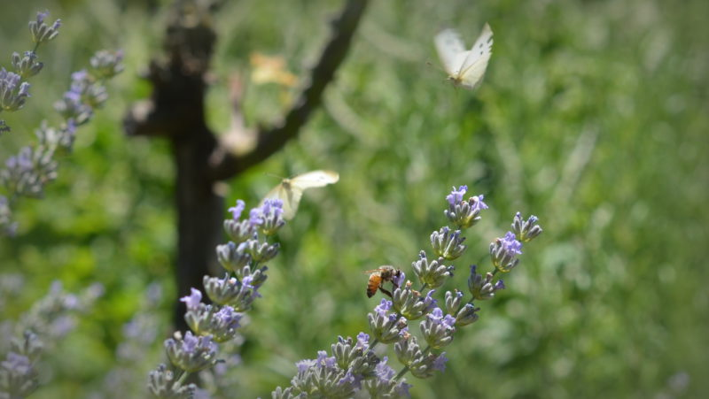 Lavander butterflies, wasp, Tuscany, Italy -Virginie Suys Photo Canvas HD