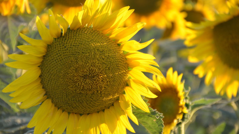 Sunflower 4, Tuscany, Italy - Virginie Suys Photo Canvas HD