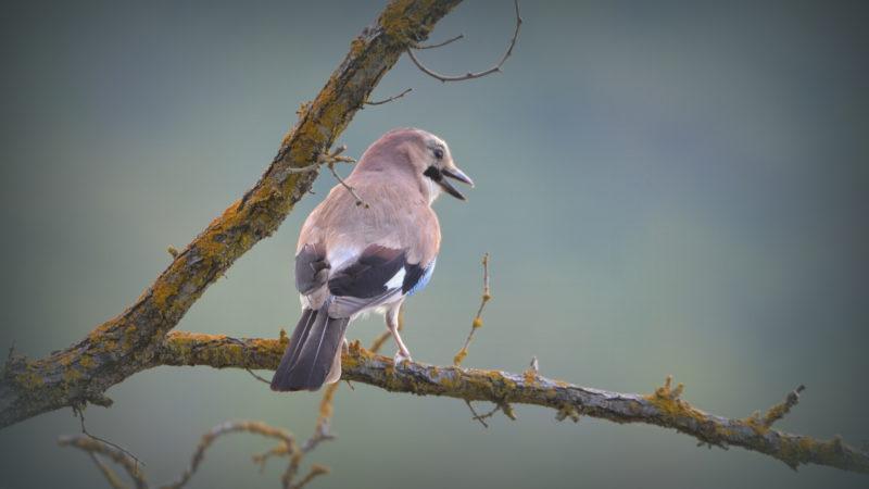 Jay bird, Tuscany, Italy -Virginie Suys Photo Canvas HD