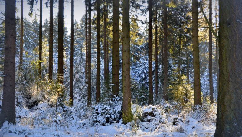 Snowy pine trees, Ardennes, Belgium -Virginie Suys Photo Canvas HD