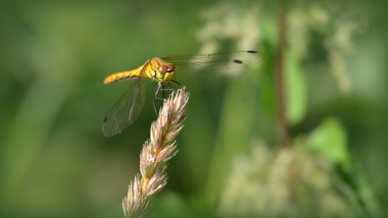 Yellow dragonfly, Belgium - Virginie Suys Photo Canvas HD