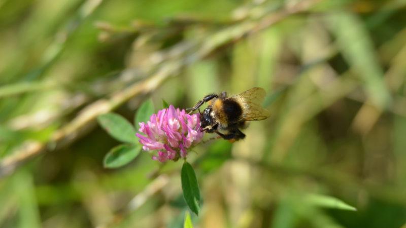 Bee on purple flower, Belgium -Virginie Suys Photo Canvas HD