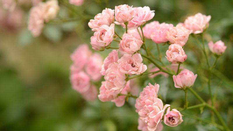 Pink roses, Nieuwrode, Belgium -Virginie Suys Photo Canvas HD