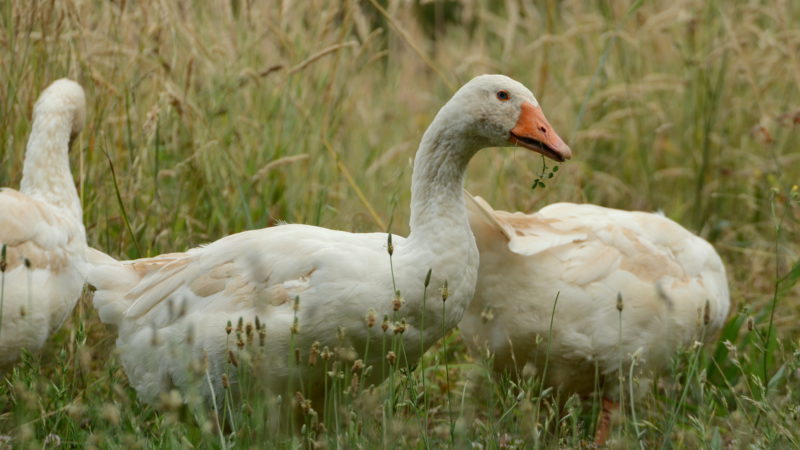 Canvas white goose, countryside Tuscany, Italy - Virginie Suys Photo Canvas HD