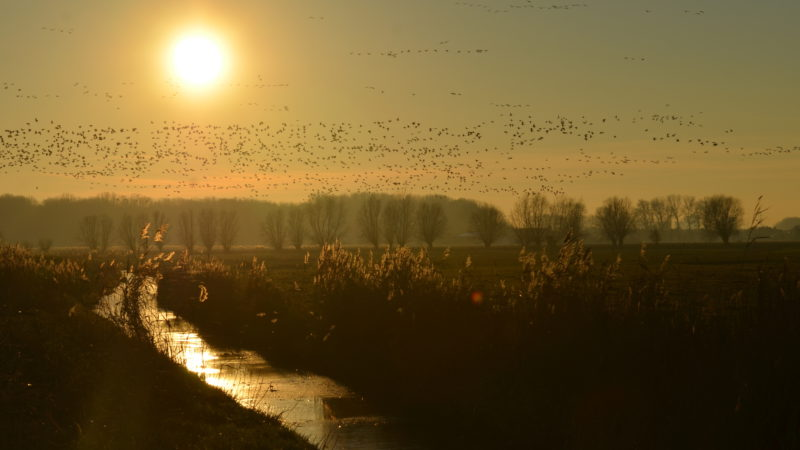 Brown yellow sunset field with birds, Damme, Belgium - Virginie Suys Photo Canvas HD
