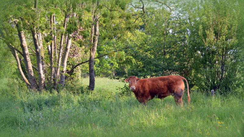 Brown cow, The Netherlands - Virginie Suys Photo Canvas HD