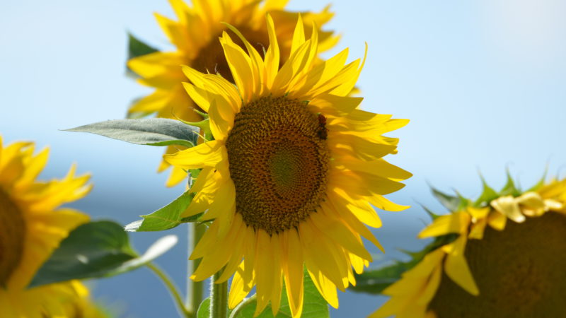 Tuscan sunflower 2, Italy - Virginie Suys Photo Canvas HD