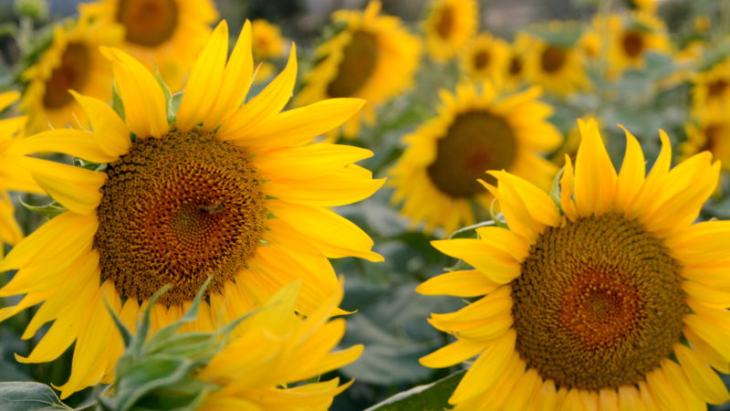 Tuscan sunflower 1, Italy - Virginie Suys Photo Canvas HD