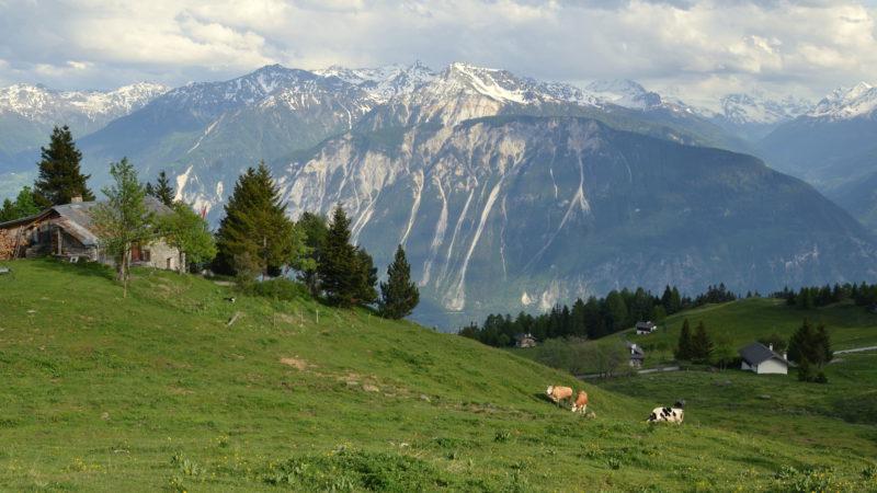 Green fields, cows & mountains, Switzerland - Virginie Suys Photo Canvas HD